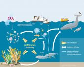 Figure: Ocean acidification and warming are able to affect organisms directly and amplify or attenuate each other's effects. Reactions of individual species also impact other parts of the food web as well as marine communities indirectly. Ultimately, the interplay of effects even has consequences for important ecosystem services such as the uptake and storage of carbon dioxide storage, food provision from fisheries or the recreational and cultural values of the ocean.